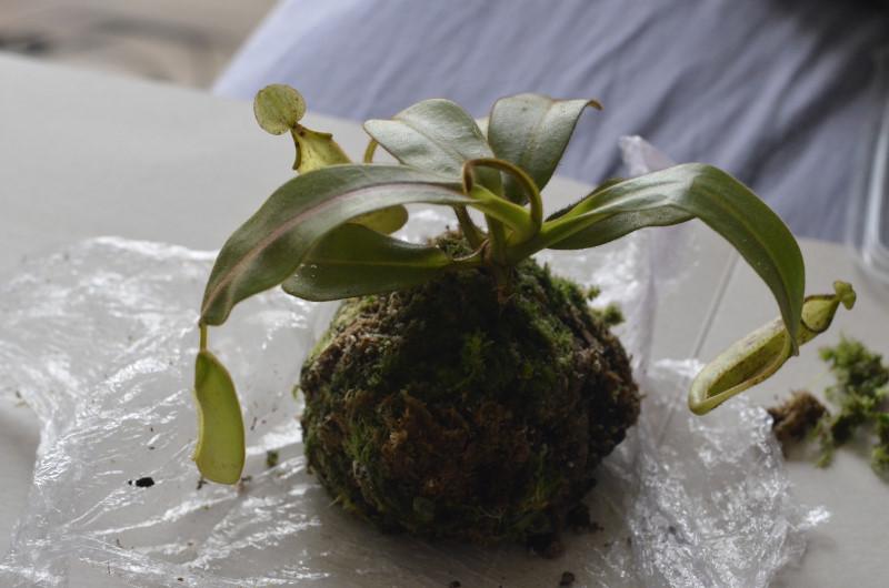 Nepenthes Platychila Nep-pla3
