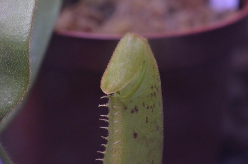 Nepenthes Platychila Nep-pla6
